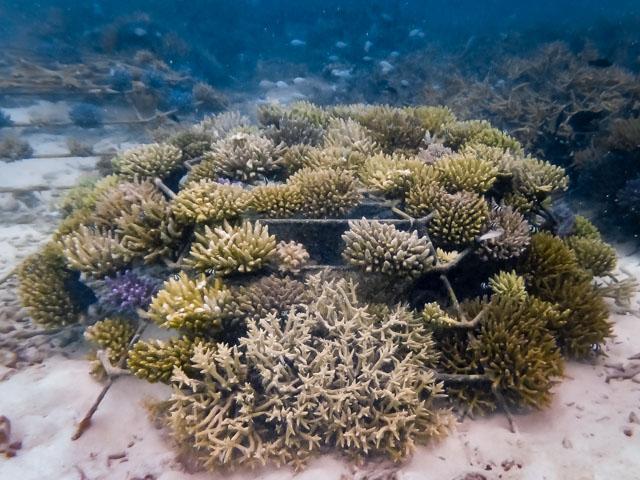 Reefscapers coral frame KH0830 (10-Jan-16)