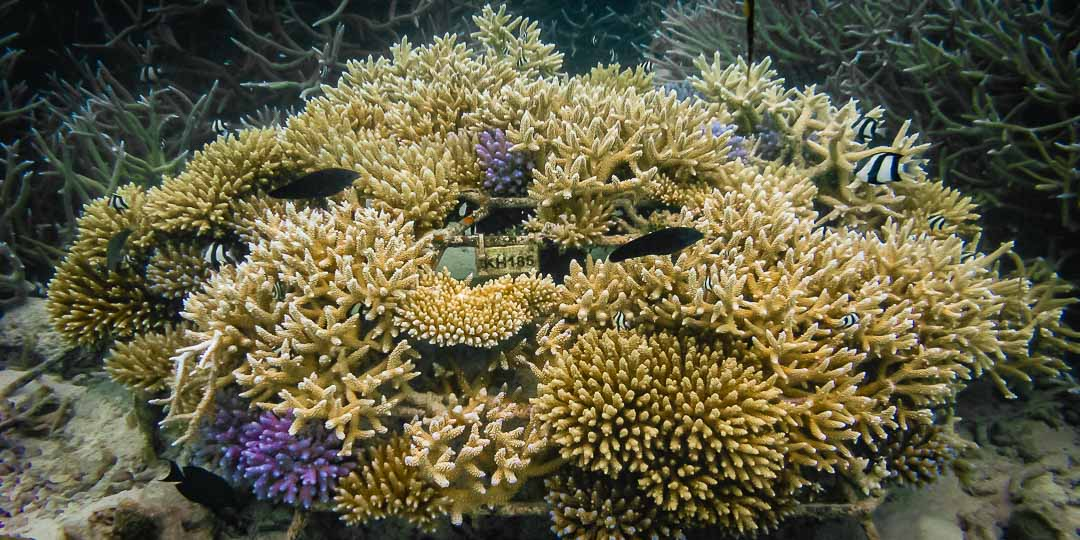 Mature Coral Frame (KH185)