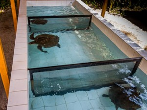 IMG_1127-LR (Our Maldivian Sea Turtle Conservation Programmes)