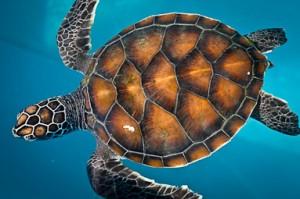 Maldivian Sea Turtle Conservation Programme (Our Maldivian Sea Turtle Conservation Programmes)