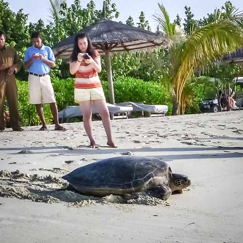 Green Turtle on KH Beach