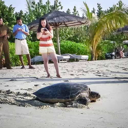 Green Turtle on KH Beach