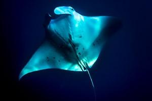 manta ray (The Manta Trust)