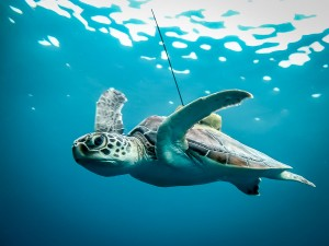 Turtle released with satellite tag (14 Reared Sea Turtles Released Into The Wild !)
