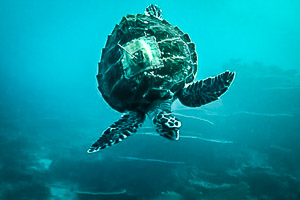 Satellite-tagged and swimming free