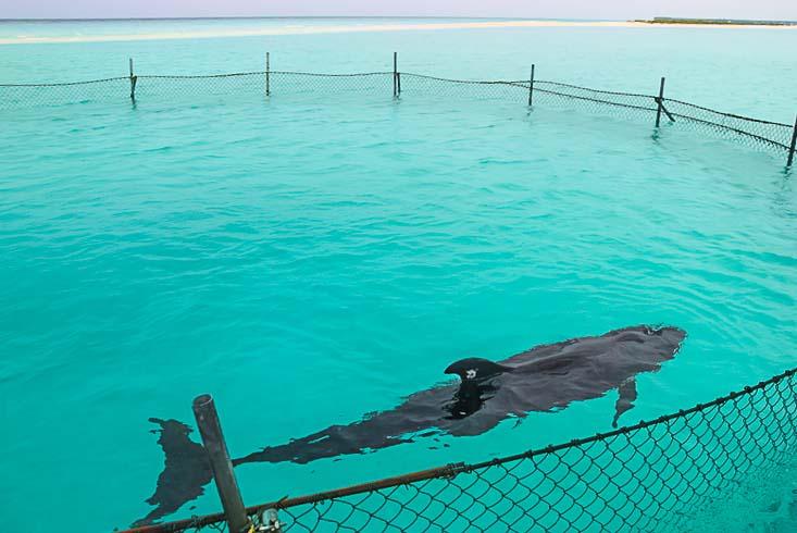 Haita (our rescued false killer whale) in the lagoon enclosure (29-Dec-12)