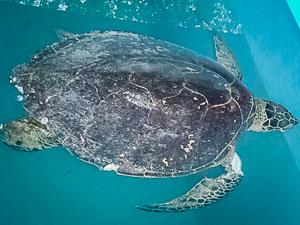 Hawksbill Turtle 'Julie' in rescue pool