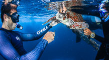 Ocean Rescue of Entangled Olive Ridley Turtle (slideshow)