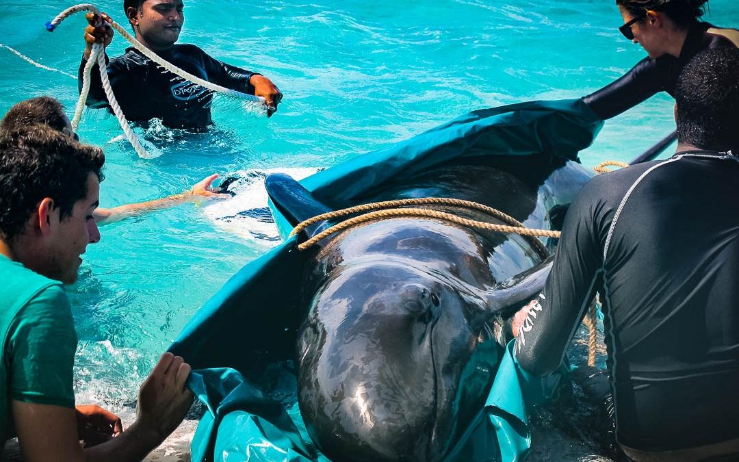 False Killer Whale – Attempted Rehabilitation
