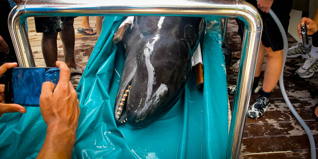 Stranded False Killer Whale (08) Marine Savers Maldives [1785]