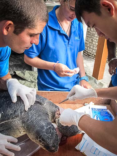 'Uno' the injured Olive Ridley turtle