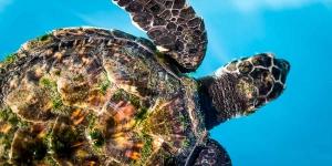 Sea turtle in our raising pool (Marine Savers Photo Galleries)