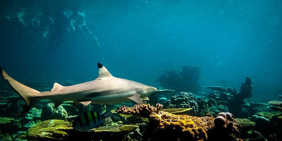 Black tip reef shark on snorkel safari