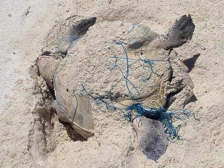 Olive Ridley rescue on Kihaadhoo island