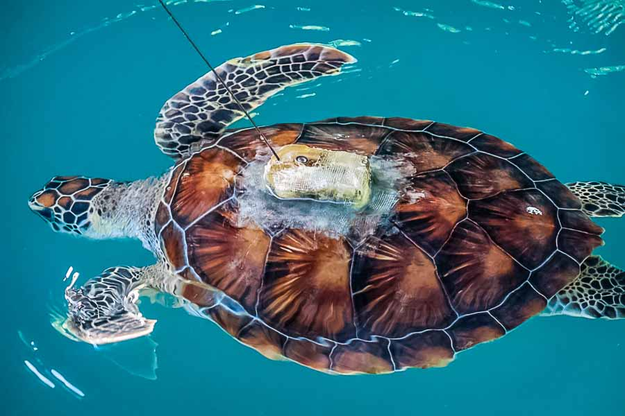 Green turtle 'Spartacus' fitted with satellite tag