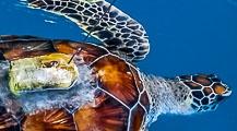 Turtle Conservation at Kuda Huraa