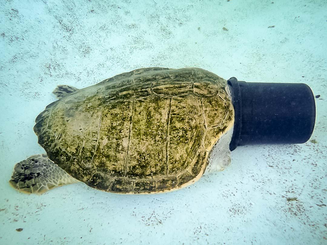 Elsa sea turtle conservation Maldives Marine Savers