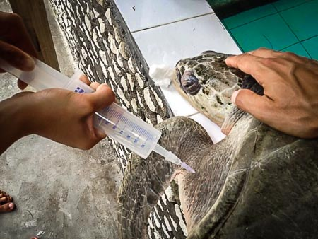 Zahiya - rescue turtle - fluid injection