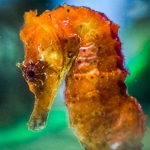 Adult Seahorse closeup