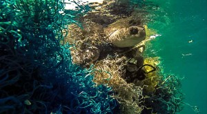 Turtle caught in ghost netting (Ghost Net Awareness 2013)