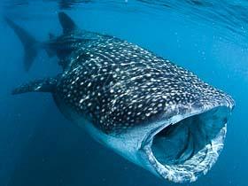 Whale Shark feeding (Baa Atoll)