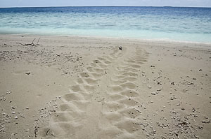 Green turtle tracks seen at Maarikilu