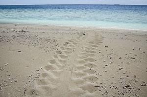 Green turtle tracks seen at Maarikilu