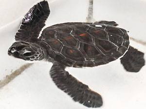 Green turtle juvenile from Coco Palm