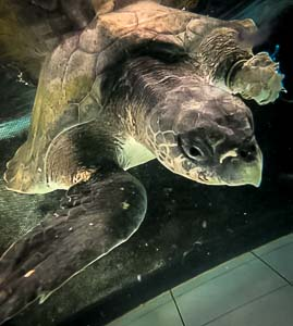 Ossy the Olive Ridley turtle in our rehab pool, just after rescue