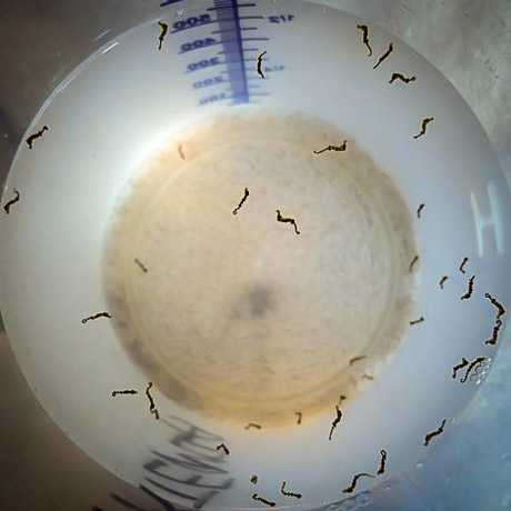 Seahorse juveniles born in our Fish Lab