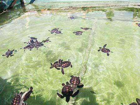 Feydhoo Finolhu turtle hatchling rearing pool