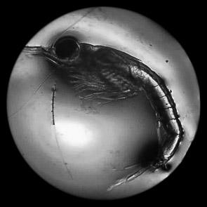 Mysid shrimp under the microscope