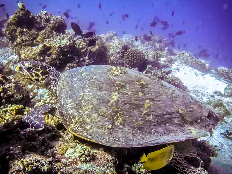 Hawksbill Turtle [HK476] [thanks Per Laumark, Maafushivaru)