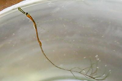 Unknown Syngnathidae, full length