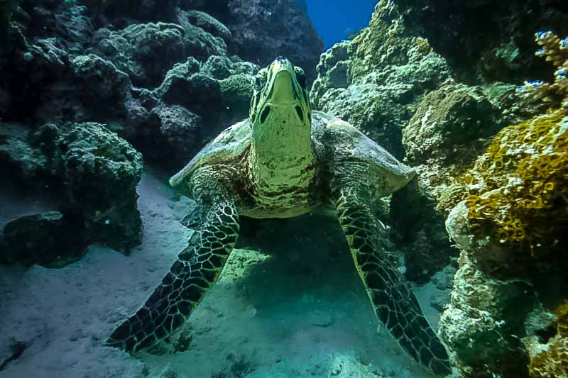 Wild Hawksbill turtle at Voavah