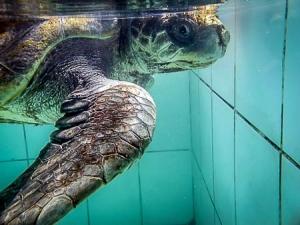 bobita (Turtle Rehabilitation at Landaa Giraavaru)