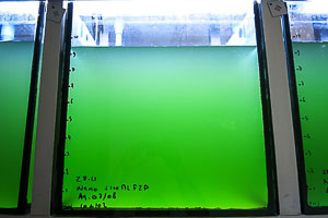 Fish Lab - phytoplankton culture in our tanks