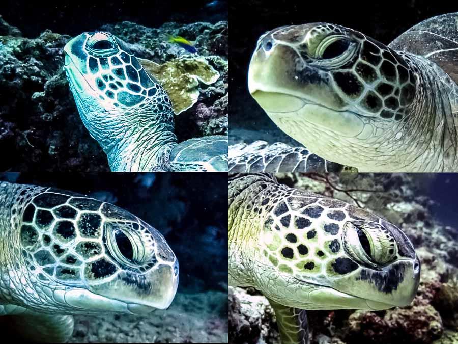4 Green turtles - Clio (GR36), Darcey (GR136), Sabine (GR137), Princess Lea (GR141) - clockwise from top left