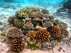 Coral Frame at Landaa Giraavaru (LG0864)