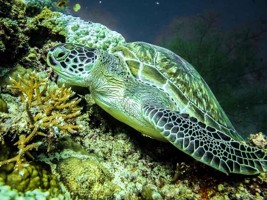 Green Turtle GR6 'Kiwi' (thanks to Inae Lee, Four Seasons)
