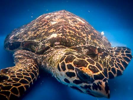 HK319 'Lucky' Hawksbill Turtle