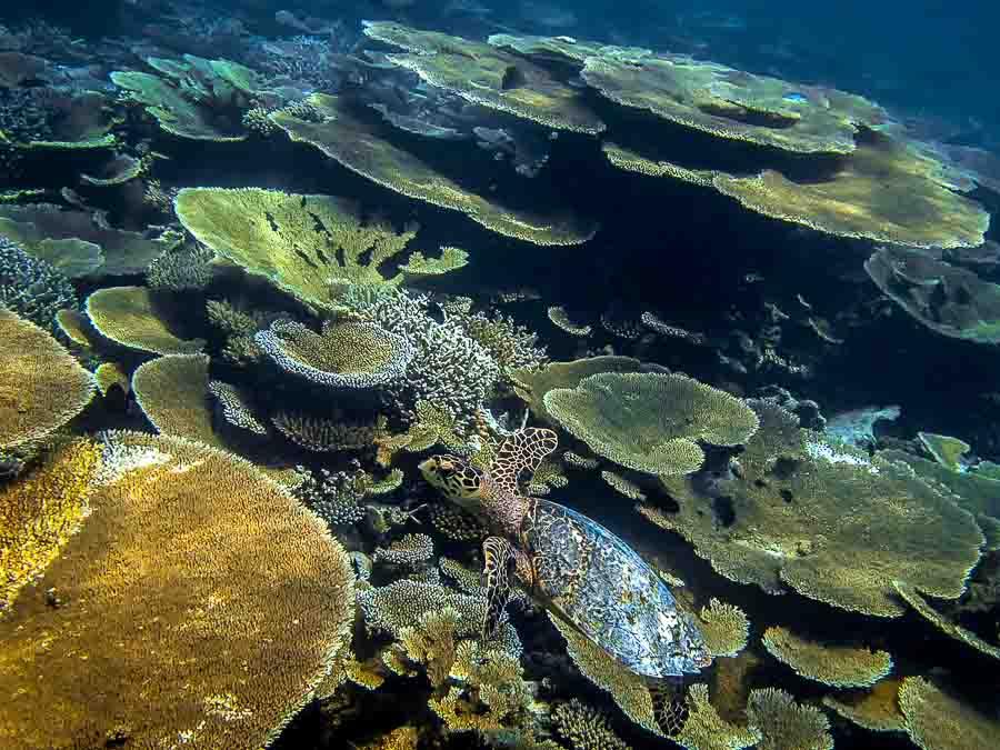 Hawksbill turtle HK521 on the reef, Dhaalu atoll (thanks to Judith from Niyama)