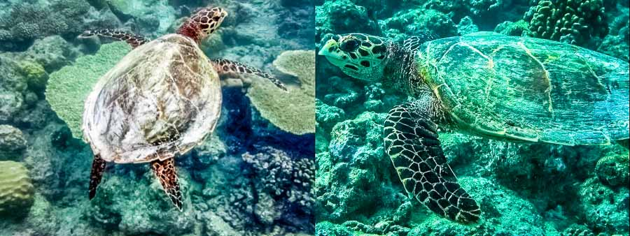Hawksbill turtle HK936 'Jule' - seen twice at Kuramathi during July