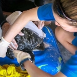 Pete - Olive Ridley rescue turtle - plaster cast