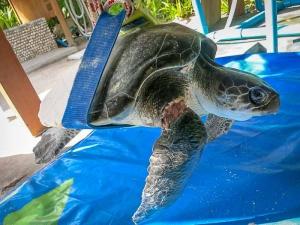 Pete – Olive Ridley rescue turtle – sling (Sea Turtle Rescue & Rehabilitation)