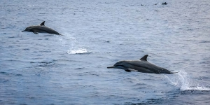Safari – Spinner Dolphins close to Reethi Beach [LG 2013.12] HQ (Marine Life – In & Out of the Lab)