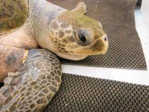 Alea's Release on 17-Mar-14 (IMG_4426) (Maldivian Sea Turtle Conservation Programme)