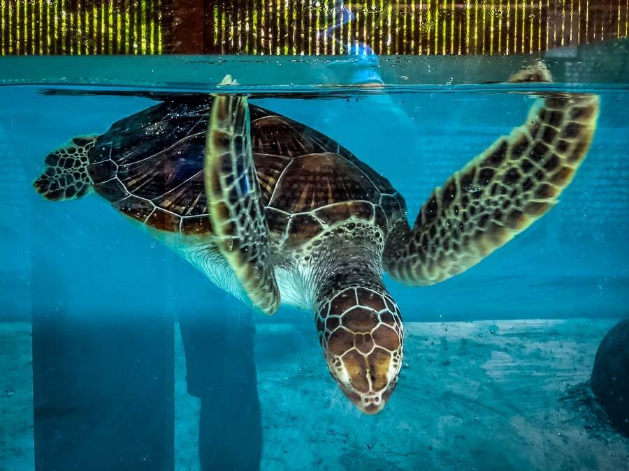 Turtle Updates from Landaa Giraavaru