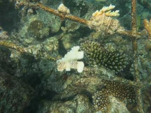 Coral bleaching on a frame – closeup [LG1101] (Coral Propagation Updates)