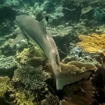 Black tip Reef Shark (Bandos house reef)